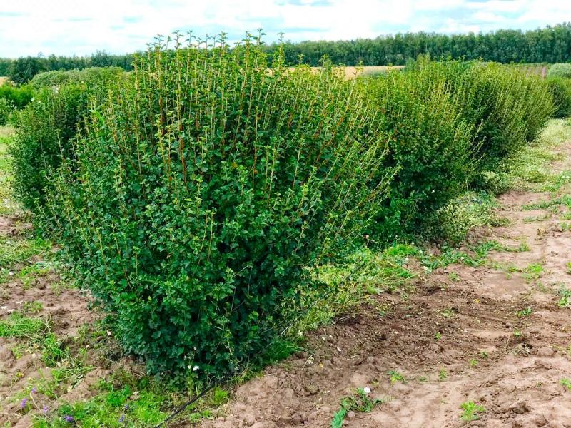 СМОРОДИНА АЛЬПИЙСКАЯ ШМИДТ (Ribes alpinum «Schmidt»)